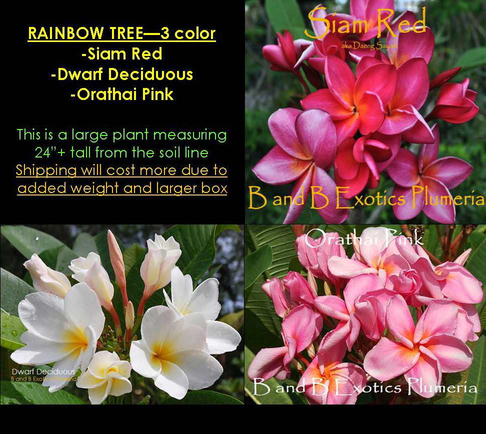 Plumeria rainbow tree large 3 color siam red dwarf deciduous quick view mightylinksfo