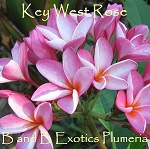 KEY WEST ROSE Plumeria Rooted