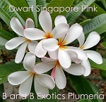 DWARF SINGAPORE PINK Plumeria Rooted