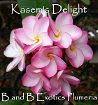KASEM'S DELIGHT Plumeria Rooted