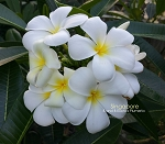 SINGAPORE WHITE Plumeria Rooted