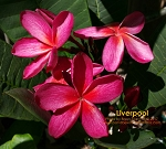 LIVERPOOL Plumeria Grafted