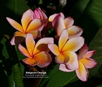 RATIGKARN ORANGE PLUMERIA Rooted