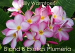 LILLY WARMTOES Plumeria Grafted