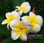 LUEANG JANTRA Plumeria Rooted JUMBO