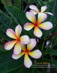 LOVE POTION Plumeria Grafted