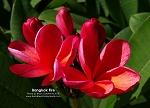 BANGKOK FIRE Plumeria Rooted