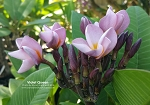 VIOLET QUEEN Plumeria grafted