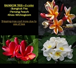 PLUMERIA RAINBOW TREE GRAFTED - 3 COLOR: BANGKOK FIRE, PENANG PEACH, KHAO NITCHAGKARN