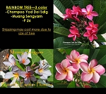 PLUMERIA RAINBOW TREE - 3 COLOR: MUANG SENGYAM, CHOMPOO YOD DOI SDLG, P26