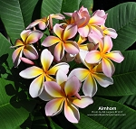 AIMHORN Plumeria Rooted