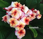 SUNSPLASH Plumeria Grafted