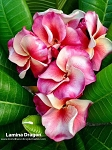 LAMINA DRAGON Plumeria Grafted