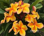 GOLDEN NOI Plumeria Grafted