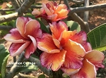 ATAPHON ORANGE Plumeria Grafted