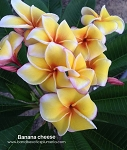 BANANA CHEESE Plumeria Grafted
