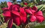 MALAYSIAN RED Plumeria Grafted