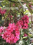 STRAWBERRY WATERFALLS Plumeria Grafted