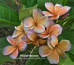 VIOLET BROWN Plumeria Grafted