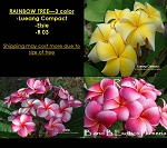 PLUMERIA RAINBOW TREE GRAFTED - 3 COLOR: LUEANG COMPACT, ELSIE, R 03