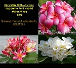 PLUMERIA RAINBOW TREE GRAFTED - 3 COLOR: MADAME PONI HYBRID, R 03, MILTON WHITE