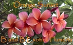 ORANGE SUNSET Plumeria Grafted