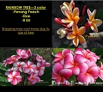 PLUMERIA RAINBOW TREE LARGE - 3 COLOR: R 03, PENANGE PEACH, ELSIE