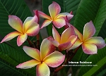 INTENSE RAINBOW PLUMERIA SEEDS - 5 SEEDS