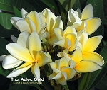 THAI AZTEC GOLD Plumeria Grafted