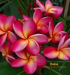 DUKE (THAI) PLUMERIA SEEDS - 5 SEEDS