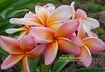 PRETTY PRINCESS PLUMERIA SEEDS - 5 SEEDS