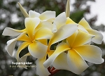 SUPERSPIDER PLUMERIA SEEDS - 5 SEEDS