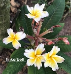TINKERBELL Plumeria Grafted