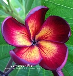 JAMAICAN FIRE Plumeria Grafted