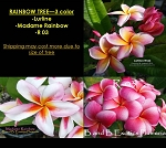PLUMERIA RAINBOW TREE GRAFTED - 3 COLOR: LURLINE (Thai), MADAME RAINBOW, R03