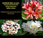 PLUMERIA RAINBOW TREE GRAFTED - 3 COLOR: THONG TAWEECHOKE, RUNG SIRICHOKE, MILTON WHITE