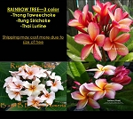 PLUMERIA RAINBOW TREE GRAFTED - 3 COLOR: THONG TAWECHOKE, RUNG SIRICHOKE, LURLINE (Thai)
