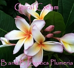 CORAL CREAM Plumeria Rooted