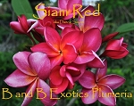 SIAM RED PLUMERIA SEEDS - 5 SEEDS