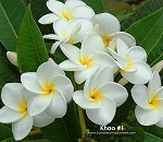KHAO #1 Plumeria Rooted