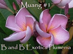 MUANG 1 Plumeria Rooted